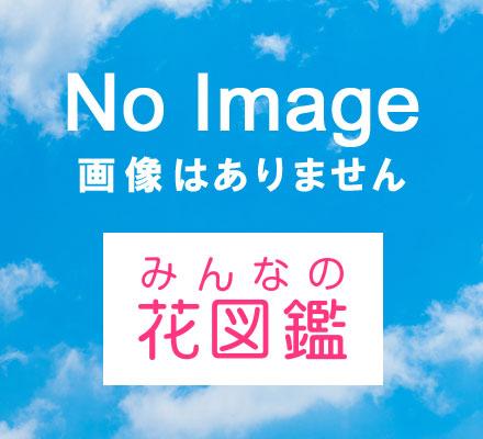 アクイレギア・ロンギシマ(セイヨウオダマキ)