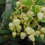 イチゴノキ(ストロベリーツリー)