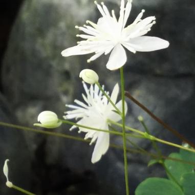 タカサゴカラマツ(タイワンバイカカラマツ)