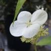 トカラアジサイ(カラコンテリギ)