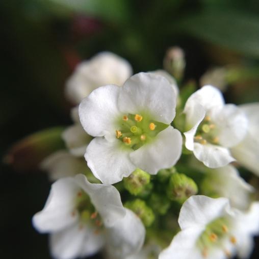 ハクホウナズナ(キタダケナズナ)