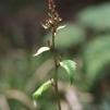 ハヤチネコウモリ