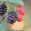 ブラックベリー(セイヨウヤブイチゴ)