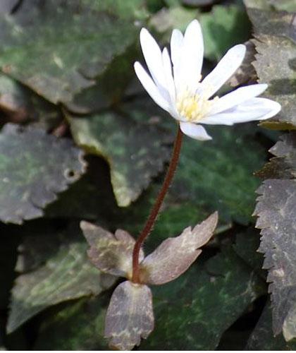 ユキワリイチゲ