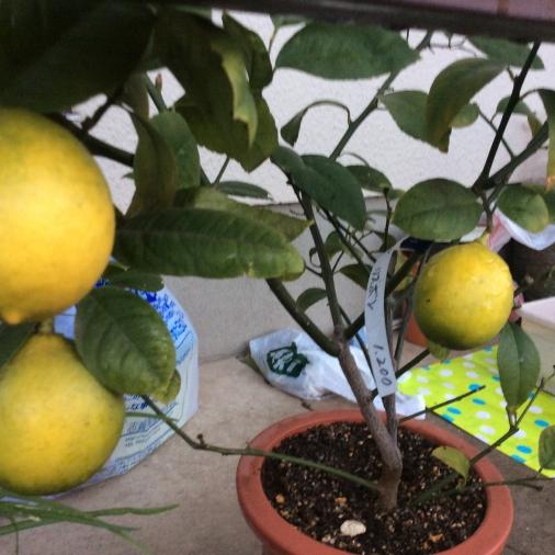 リスボンレモン