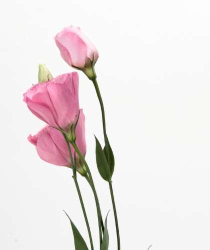 トルコキキョウ [トルコ桔梗] - みんなの花図鑑(掲載数:3,406件)
