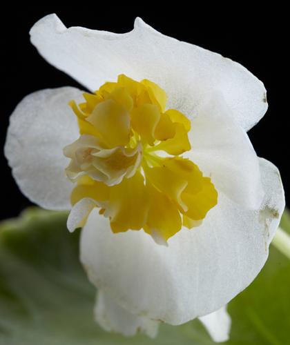 八重咲キベゴニア・センパフローレンス・フライングエッグ