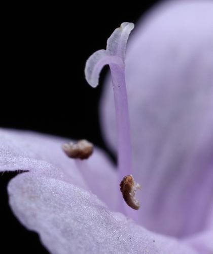 花オレガノ・バックランド