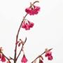 ヤエカンヒ桜