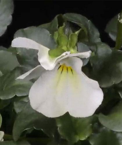 ビオラ・ビビ・クリアホワイト